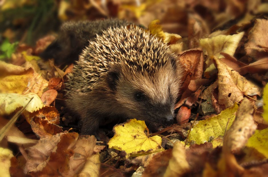 Hedgehog #NationalTriviaDay